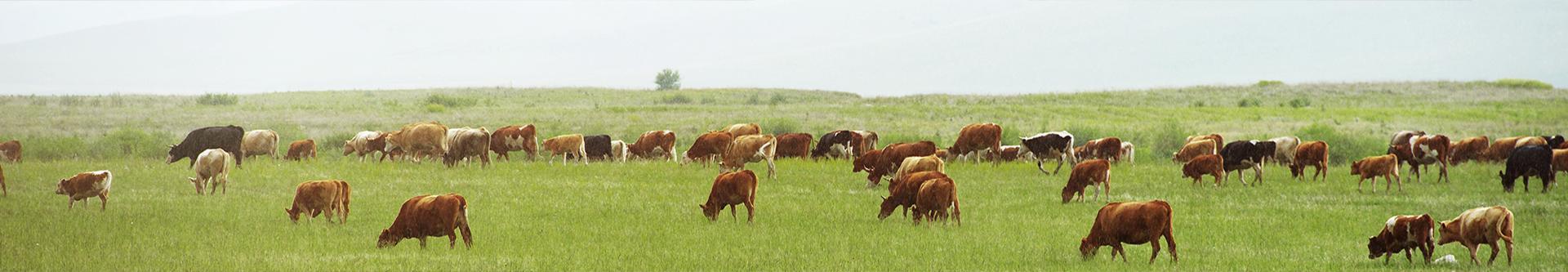 Pasza dla krów
